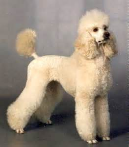 different poodle haircuts poodles on pinterest standard poodles french poodles
