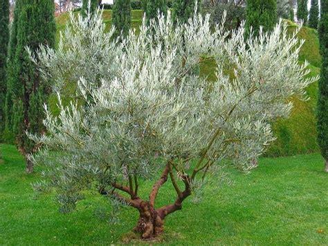 fiore olivo ulivo perde foglie alberi cause per ulivo perde foglie
