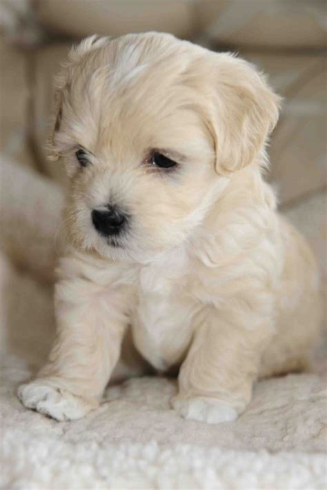 adorable small puppies 17 best ideas about puppies on puppies