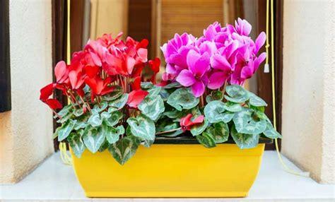 ciclamini in vaso ciclamini cure e segreti per fiori bellissimi leitv