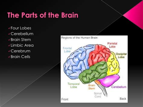 How To Be A Genius Your Brain And How To It the gifted brain