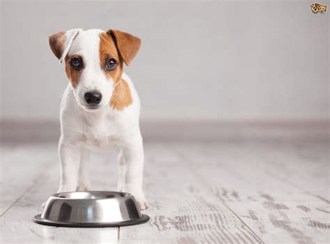 what can you feed a puppy what can you feed to your if you ve run out of food pets4homes