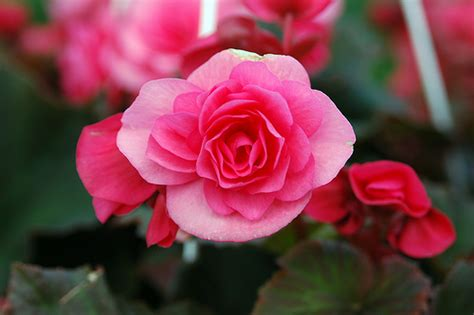 begonia flower pictures meanings