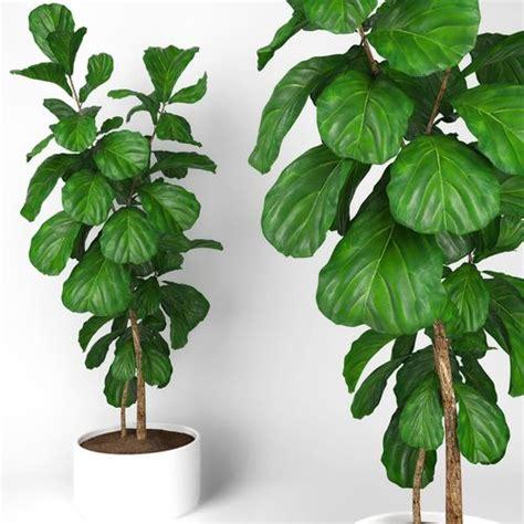 fiddle fig tree fiddle leaf fig tree 3d model cgtrader