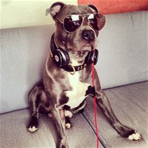 cool pit 1000 images about pitbull breed on