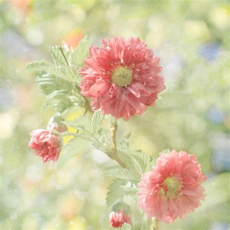 pastel flower photograph coral pink flowers by