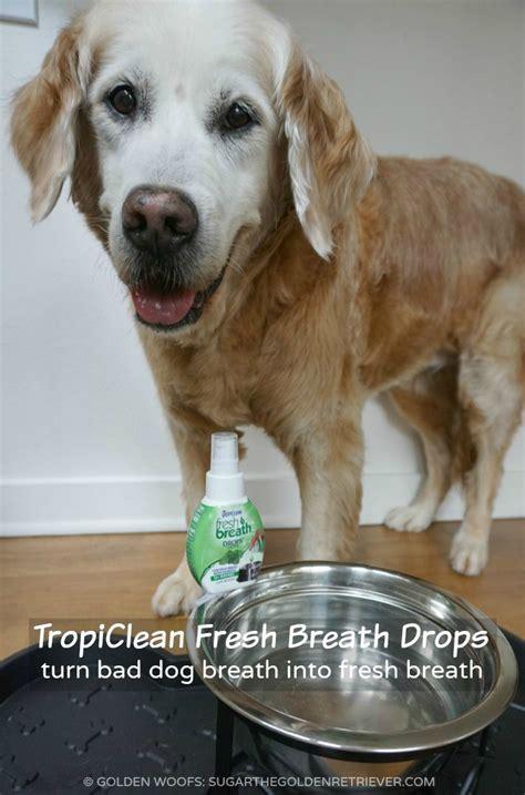 how to freshen dogs breath bad breath into fresh breath tropicleanfresh golden woofs