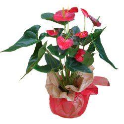 Aprilia Fiori Anthurium Vannoli Floral Design Fiori A