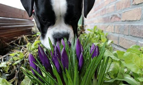 what plants are poisonous to dogs 10 plants that are poisonous to pets