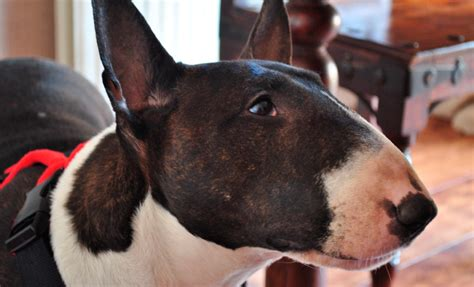 Imagenes Bull Terrier Ingles | bull terrier ingl 201 s caracter 237 sticas qu 233 come d 243 nde vive