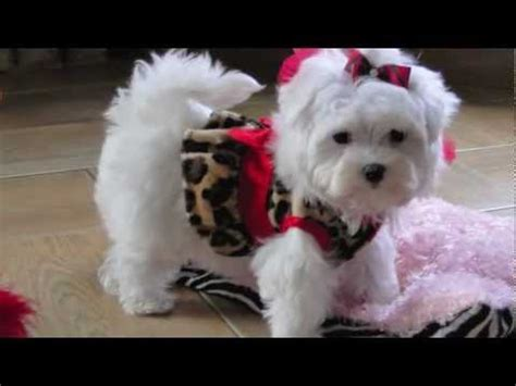 Teacup Maltese Adorable Loving Lori Dallas Maltese For Sale