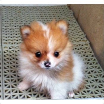 teacup pomeranian for sale in miami 85 best puppies for sale images on toys teacup puppies and html