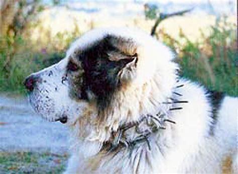 karakachan puppies all about karakachan livestock guardian dogs countryside network