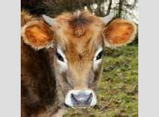 Coalition Speaks Out Against USDA's Cruel and Reckless ... Milk Cow For Sale In Florida