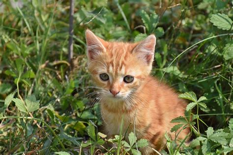 Free photo: Cat, Young Cat, Playful, Pet, Red   Free Image