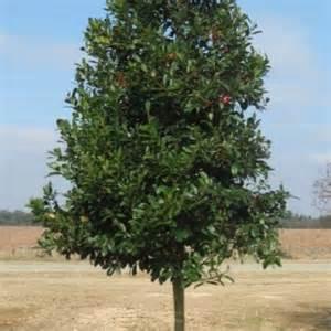 Holly tree absolute lawn care louisiana