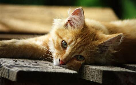 Wallpaper Lazy Cat | lazy cat wallpaper 15172