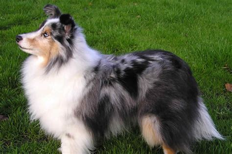 sheep dogs small breeds shetland sheepdog