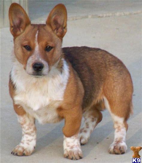 cowboy corgi puppies for sale pembroke corgi puppy for sale cowboy corgi lookout farm 8 years