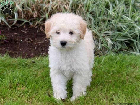 mini doodle breeders in pa konrad mini goldendoodle puppy from gordonville pa