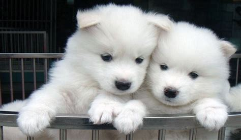 cat puppy samoyed all big breeds