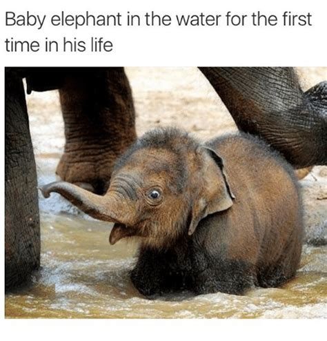 Baby Elephant Meme - baby elephant in the water for the first time in his life