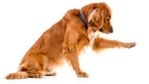 golden retriever legs give out mythical and legendary origins of breed traits dogtime
