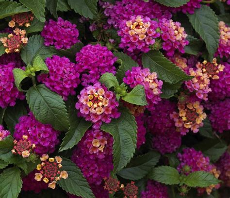 lantana colors 175 best images about lantana on sun
