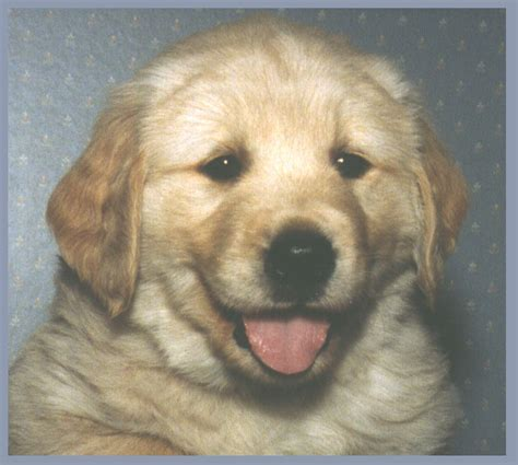 golden retriever breeders ontario golden retriever breeders ontario www proteckmachinery