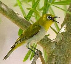 kerodong kopral pleci by a d bird 1000 images about kicau on canary birds