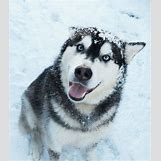 Cute Husky In Snow | 615 x 700 jpeg 169kB