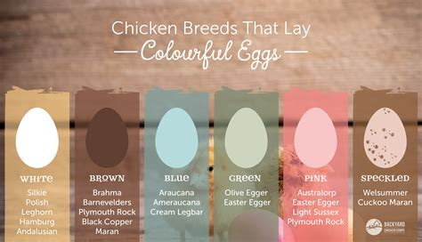 The Lay Egg Hen chicken breeds that lay different coloured eggs