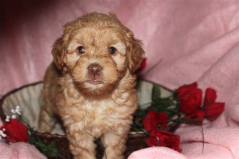 labradoodle puppies for sale in md 1000 ideas about labradoodle puppies for sale on labradoodle