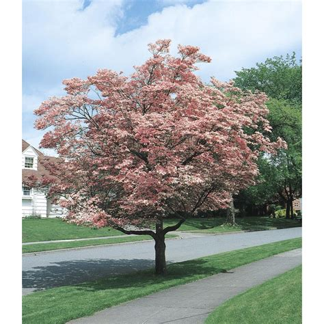 best flowering tree for front yard shop 5 5 gallon pink flowering dogwood flowering tree