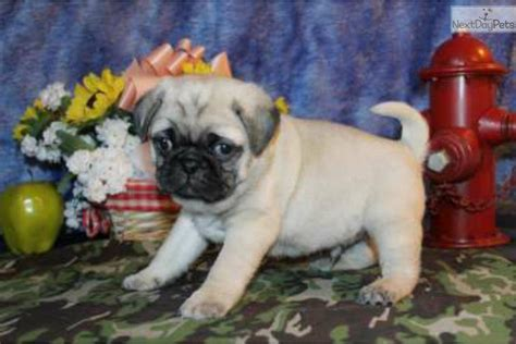 baby pugs for sale san diego meet a pug puppy for sale for 1 200 paco silly baby akc