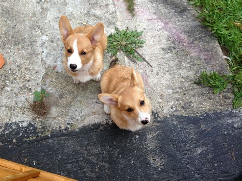 corgi for sale corgi pups for sale woking surrey pets4homes