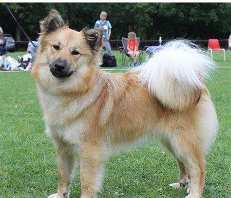 honden te koop ijslandse hond rassen honden hondenrassen