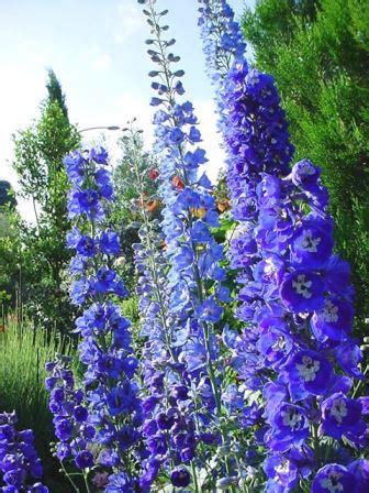 delphinium fiore delphinium speronella fiore per bordure e aiuole verdeblog