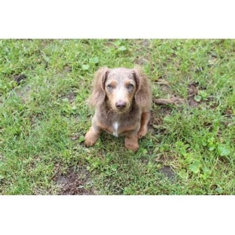 dachshund puppies illinois dachshund doxie breeders in illinois freedoglistings