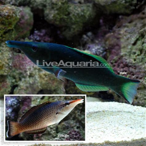 green bird wrasse large bird wrasse