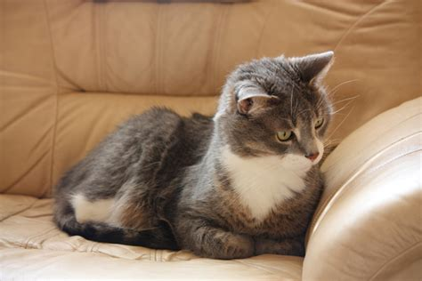 Why Do Cats On Couches by What Causes Sudden In Cats That Are Otherwise