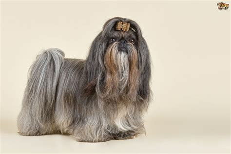 shih tzu information shih tzu breed information buying advice photos and