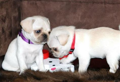 white pug dogs 231 best white pug puppies images on white pug baby pugs and pug puppies