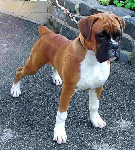 boxer puppy rescue boxer rescue uk breeds picture