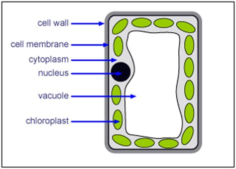 leaf palisade cell diagram cell specialisation palisade mesophyll