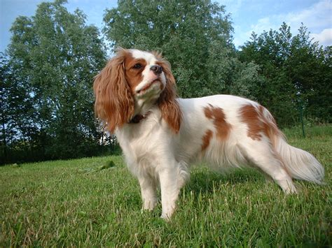 Cavalier King Charles Spaniel | The Life of Animals