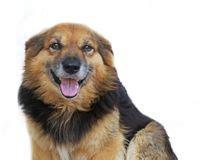 yellow labrador retriever smiling stock image image
