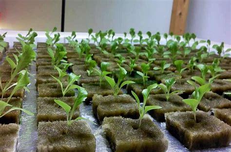 Tray Semai Cabe Rawit cara menanam cabe rawit agar tumbuh subur di pekarangan rumah