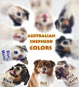 australian shepherd colors breeds buzzle