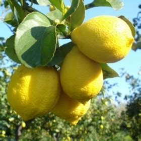 fiori d arancio lamezia terme limone femminello zagara vivai squadrito